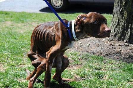 Pitbull salvo à beira da morte comove os EUA e procura um novo lar