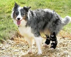 Border Collie volta a andar e correr após ganhar botas ortopédicas especiais