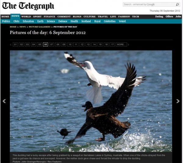 Flagra mostra pata salvando filhote das garras de gaivota na Austrália