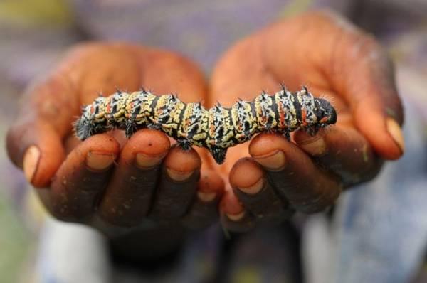 Lagartas são servidas como prato principal na zona rural do Zimbábue