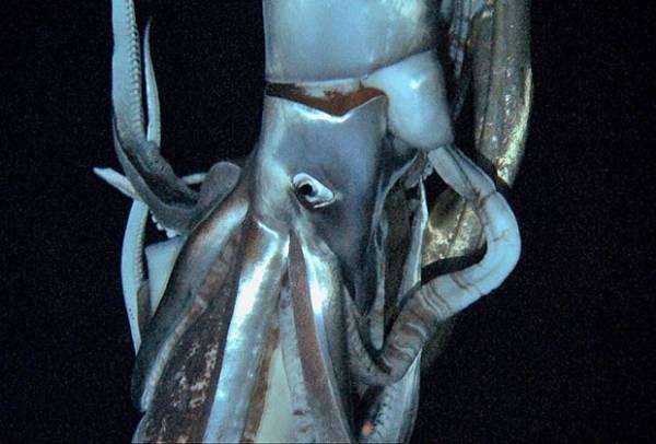 Primeiras imagens de lula gigante no fundo do mar são captadas