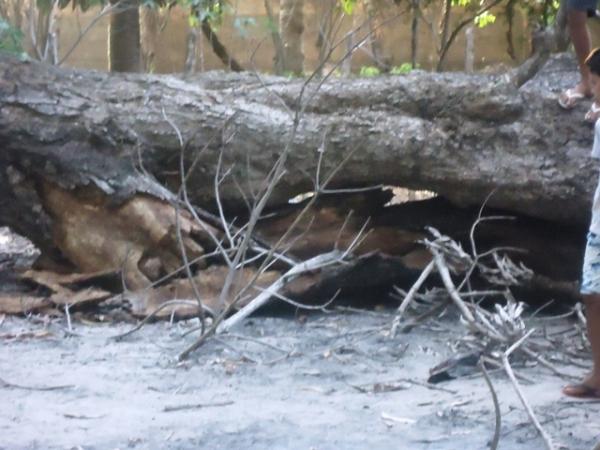 Árvore de grande porte cai e mata aposentada no centro de José de Freitas