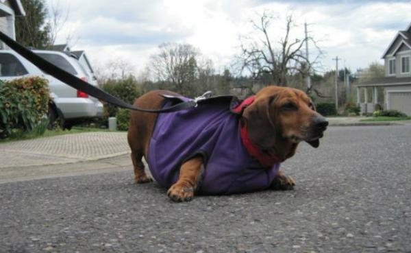 Cão obeso que não conseguia nem andar faz um ano de dieta e perde 23kg