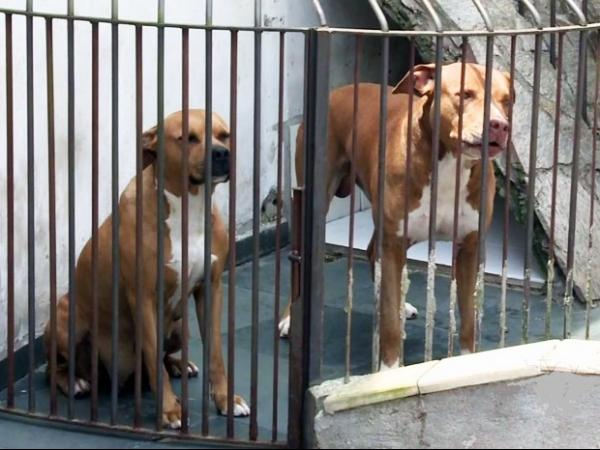Pai e filha são internados após ataque de dois pitbulls que fugiram de canil
