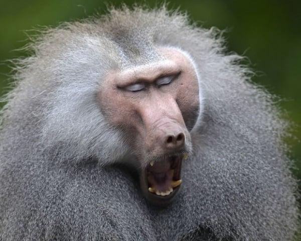 Macaco babuíno é flagrado em