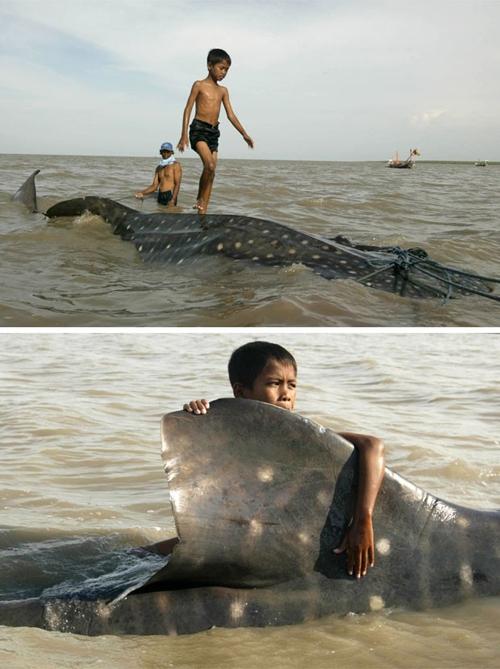Garoto anda sobre um tubarão encalhado em praia na Indonésia - Imagem 1