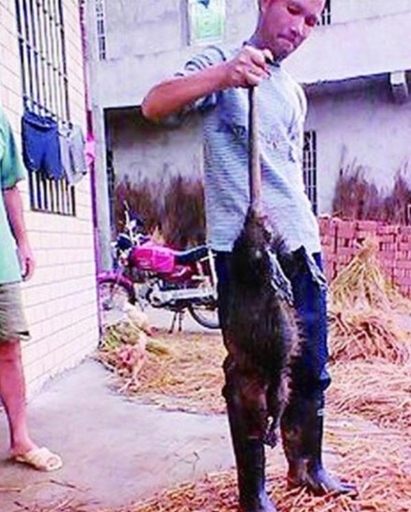 Agricultores matam rato de 1 metro que aterrorizava cidade chinesa