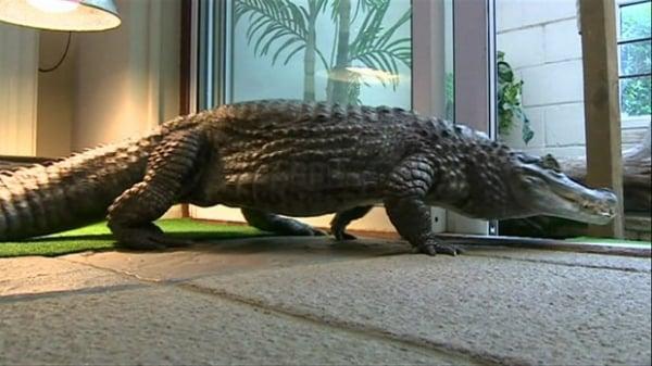 Britânico vive com crocodilo de 1,6 metro em casa