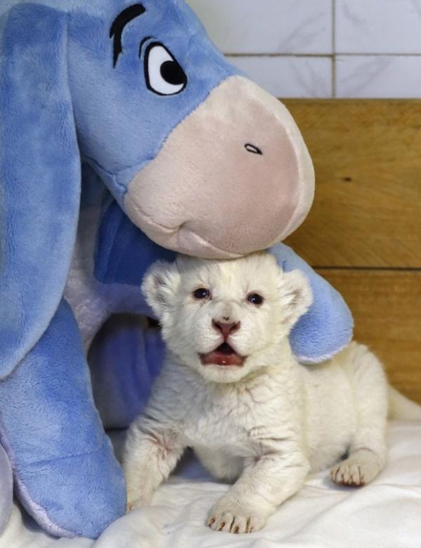 Filhote de leão branco ganha burro de pelúcia em zoo