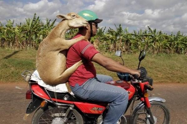 Veja lista com carneiro em moto e outros animais que