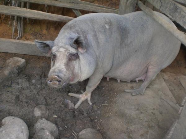 Porcos com patas em forma de