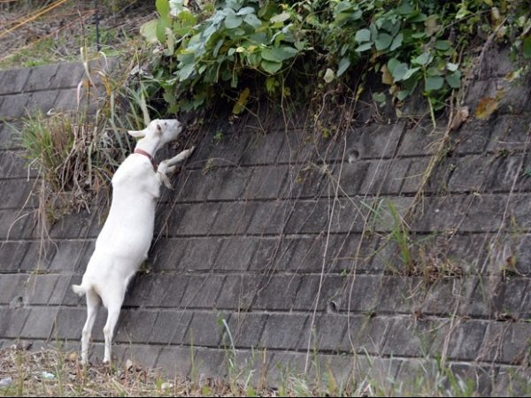 Condomínio no Japão usa cabras para cortar a grama