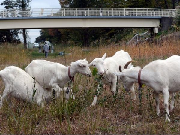 Condom匤io no Jap縊 usa cabras para cortar a grama de forma mais natural