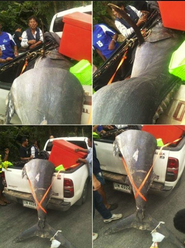 Pescadores fisgam peixe de mais de 350 quilos e vendem por mais de R$ 300