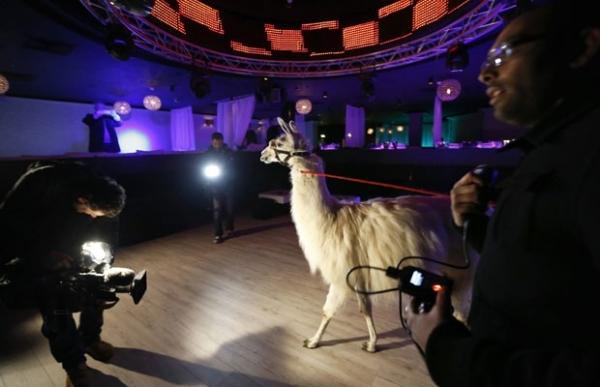 Após ser roubada e virar hit nas redes sociais, lhama vai a boate na França