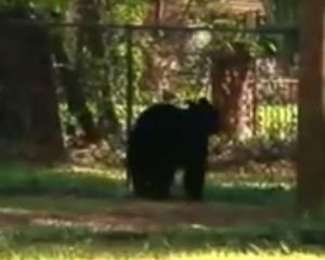 Urso derruba cerca e invade festa infantil na hora do bolo nos EUA