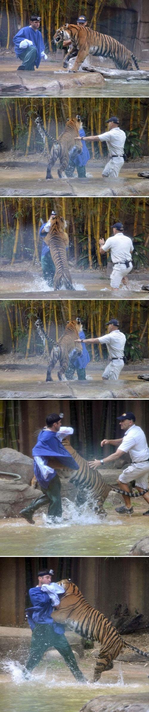Imagens mostram ataque de tigre a tratador em zoológico na Austrália