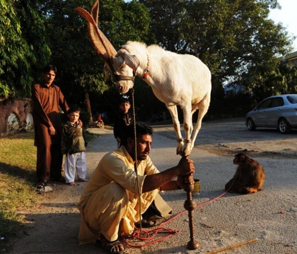 Cabra se equilibra em pedaço de madeira em cidade no Paquistão