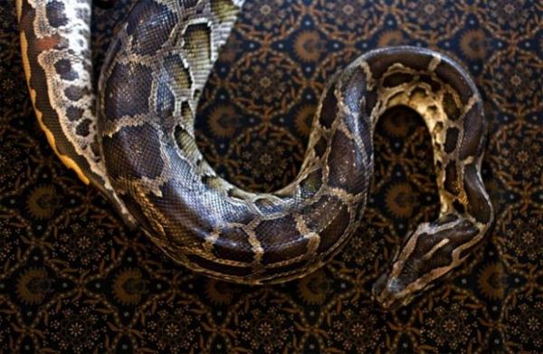 Dona de casa encontra cobra python dentro do forno da cozinha