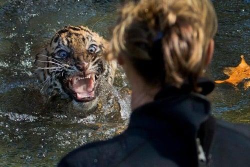 Tradição em zoo, teste  de mergulho deixa filhote  de mau humor; veja flagra