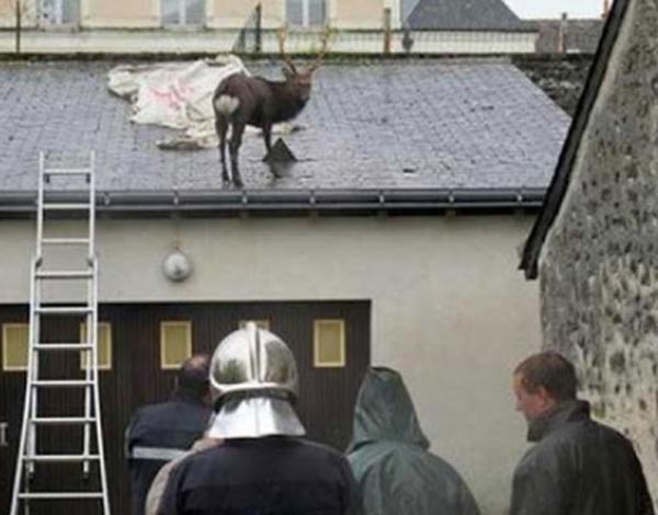 Veado é resgatado após ficar preso no telhado de garagem na França