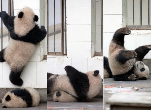 Bebê panda tenta fugir de jaula na China, mas desaba em cima de irmão