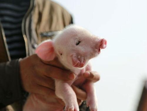 Raro: Porco nasce com duas cabeças na China; ele nasceu com Policefalia