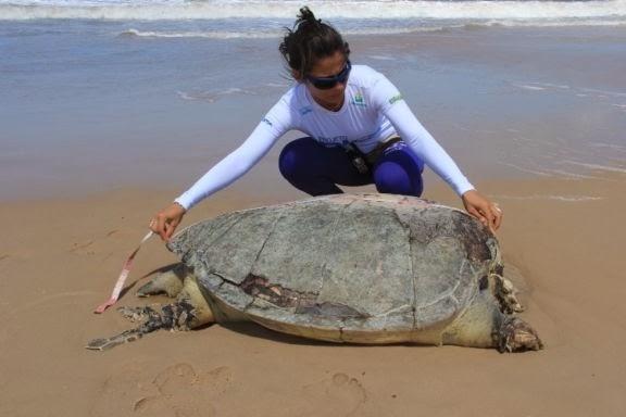 13 tartarugas encalhadas em 78 km de praia