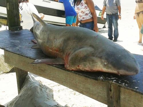Pescadores retiram rede e encontram tubarão de mais de 100 quilos preso