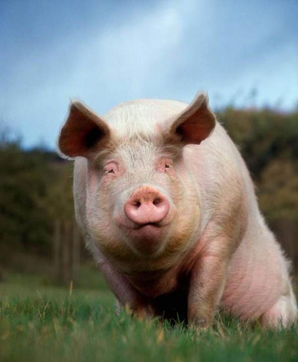 Aposentada sofre fraturas ao ser pisoteada por porco de 267 quilos