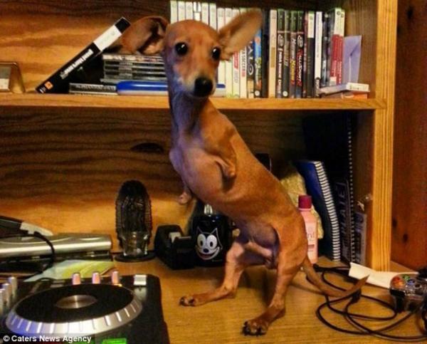 Cãozinho que nasceu sem as patas dianteiras faz sucesso no Instagram
