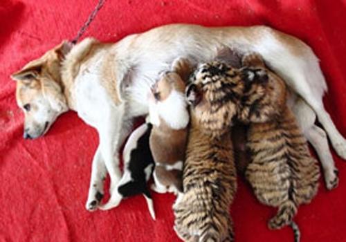 Cadela amamenta os filhotes de tigre que não consegue amamentar; fotos