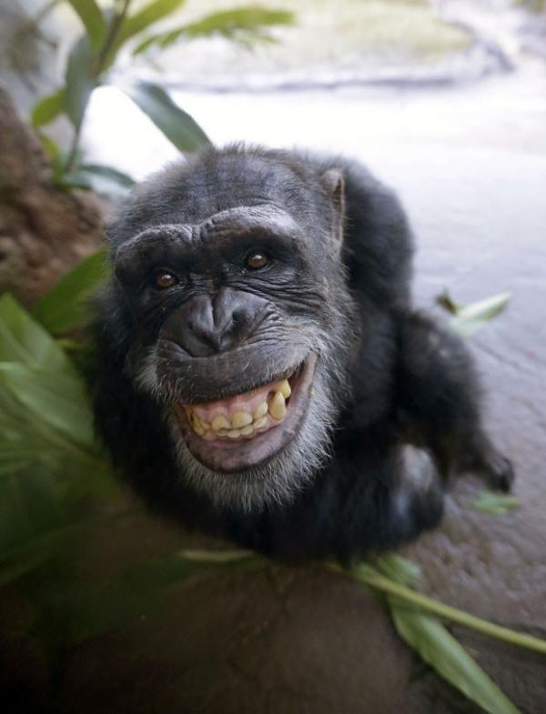 Chimpanzé dá sorrisão durante 1ª aparição em zoo nos EUA