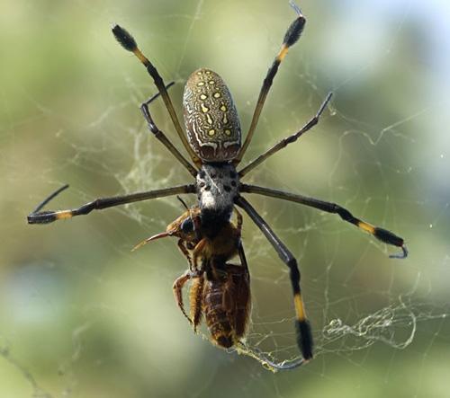 Fotógrafo faz flagrante uma aranha capturando vespa em teia no México