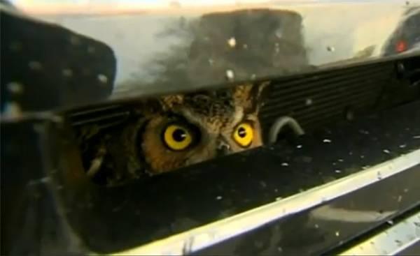 Um dia após atropelar coruja, mulher encontra animal vivo