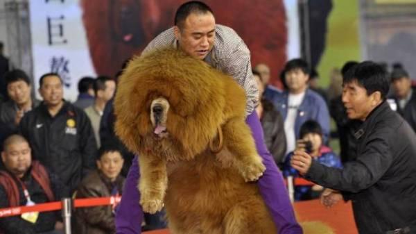 Chinês processa hospital veterinário após morte de cachorro durante cirurgia plástica