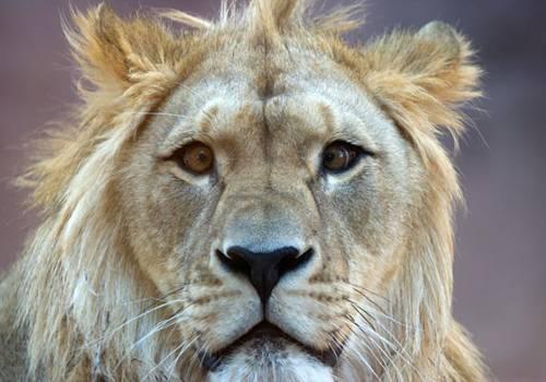 Leão vesgo chama atenção em zoológico da Alemanha