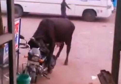 Vídeo mostra boi tentando fazer sexo com moto na Índia