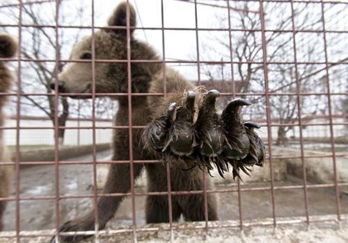 Romênia apreende leões e ursos que gangster usava para ameaçar rivais