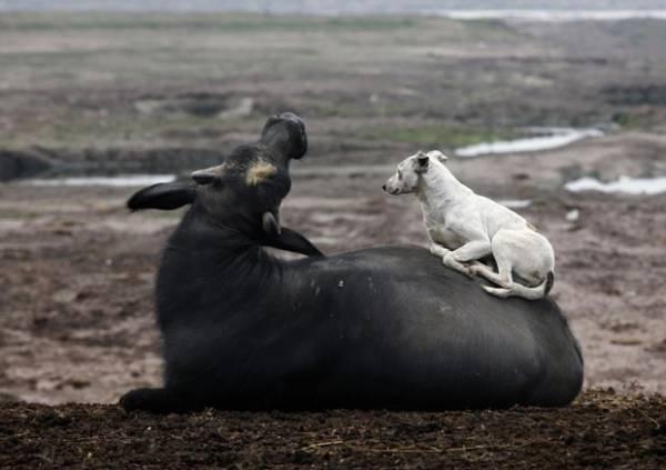Cão é flagrado descansando em cima de um búfalo no Paquistão