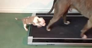 Filhote de pitbull tenta andar em esteira em vídeo fofo do YouTube