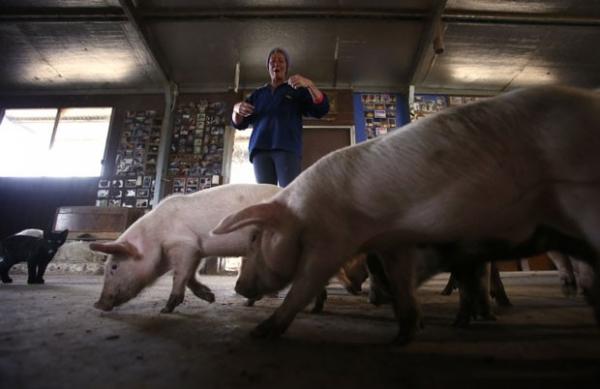 Mulher mantém mais de 25 porcos e outros animais em casa