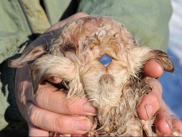 Cordeiro com 3 olhos, 4 orelhas e 8 patas nasce no Cazaquistão