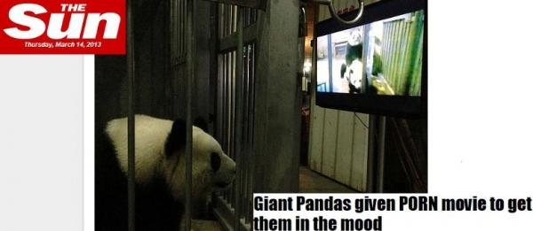 Pandas gigantes assistem filme selvagem
