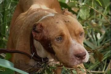 Cadela é achada com sinais de maus-tratos é achado amarrada em árvore