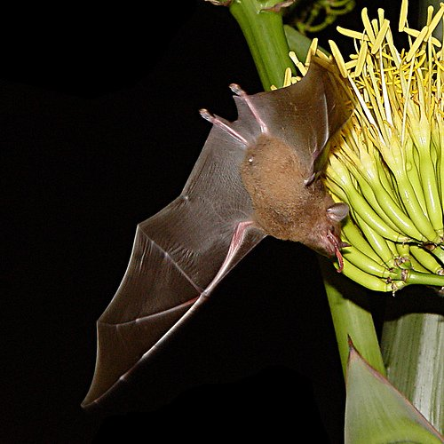 Morcego é ave, réptil ou mamífero?