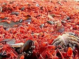 Morte de milhares de crustáceos em praia chilena cobre areia de vermelho