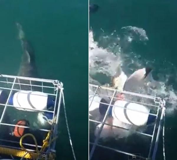 Tubarão apavora mergulhadores ao tentar invadir gaiola de proteção