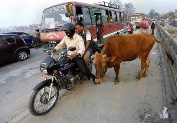 Polícia lança campanha para retirar vacas das rua em Catmandu