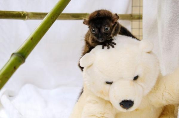 Filhotinho de lêmure ganha amigo de pelúcia em zoo francês
